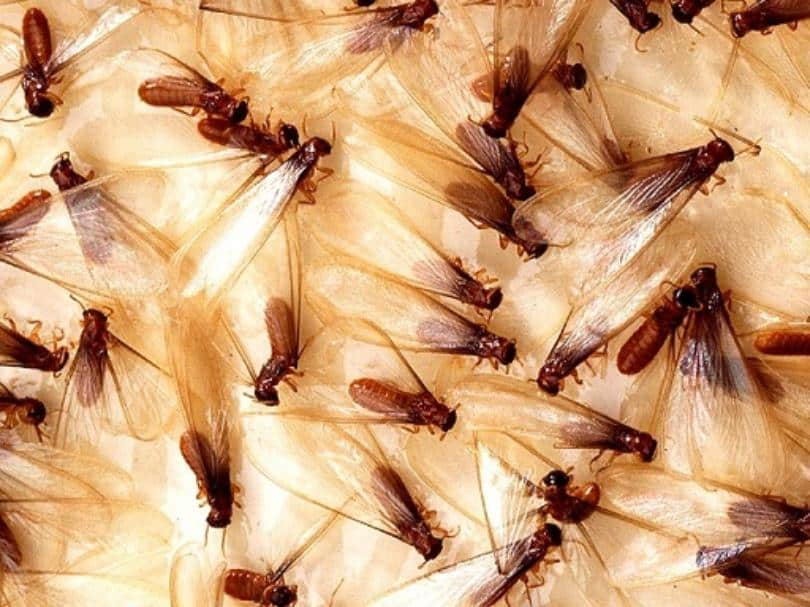 Termite Infestation Signs You Need to Look Out for in Your Home
