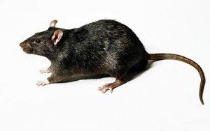 black rat in white background