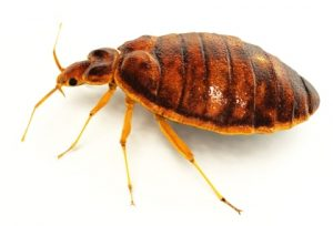 bed bug in white background
