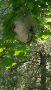 bee hive on the tree