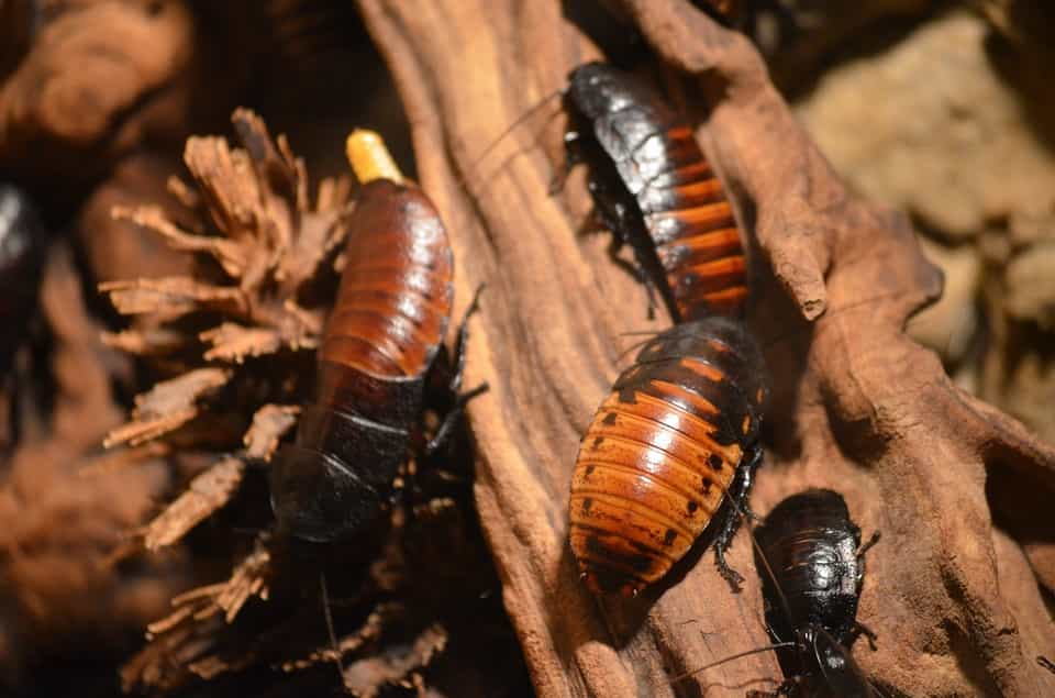 cockroaches in the wild