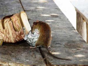 rat lurking for food