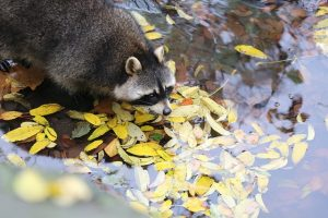 racoon on lake